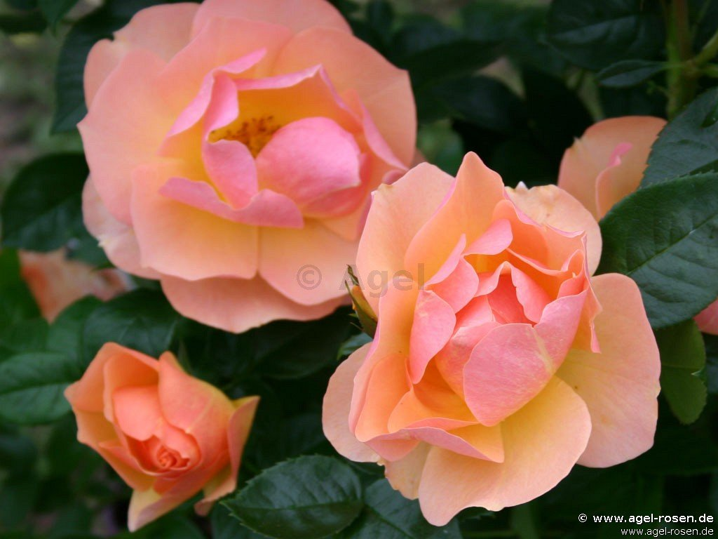 hansestadt rostock beetrose kaufen bei agel rosen. Black Bedroom Furniture Sets. Home Design Ideas