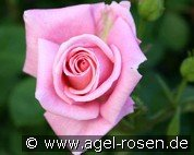 Inspiration - Agel Rose (Beetrose)