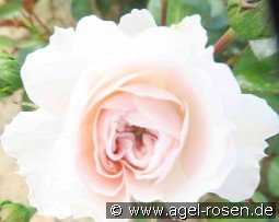 Karin-Traute-Rose