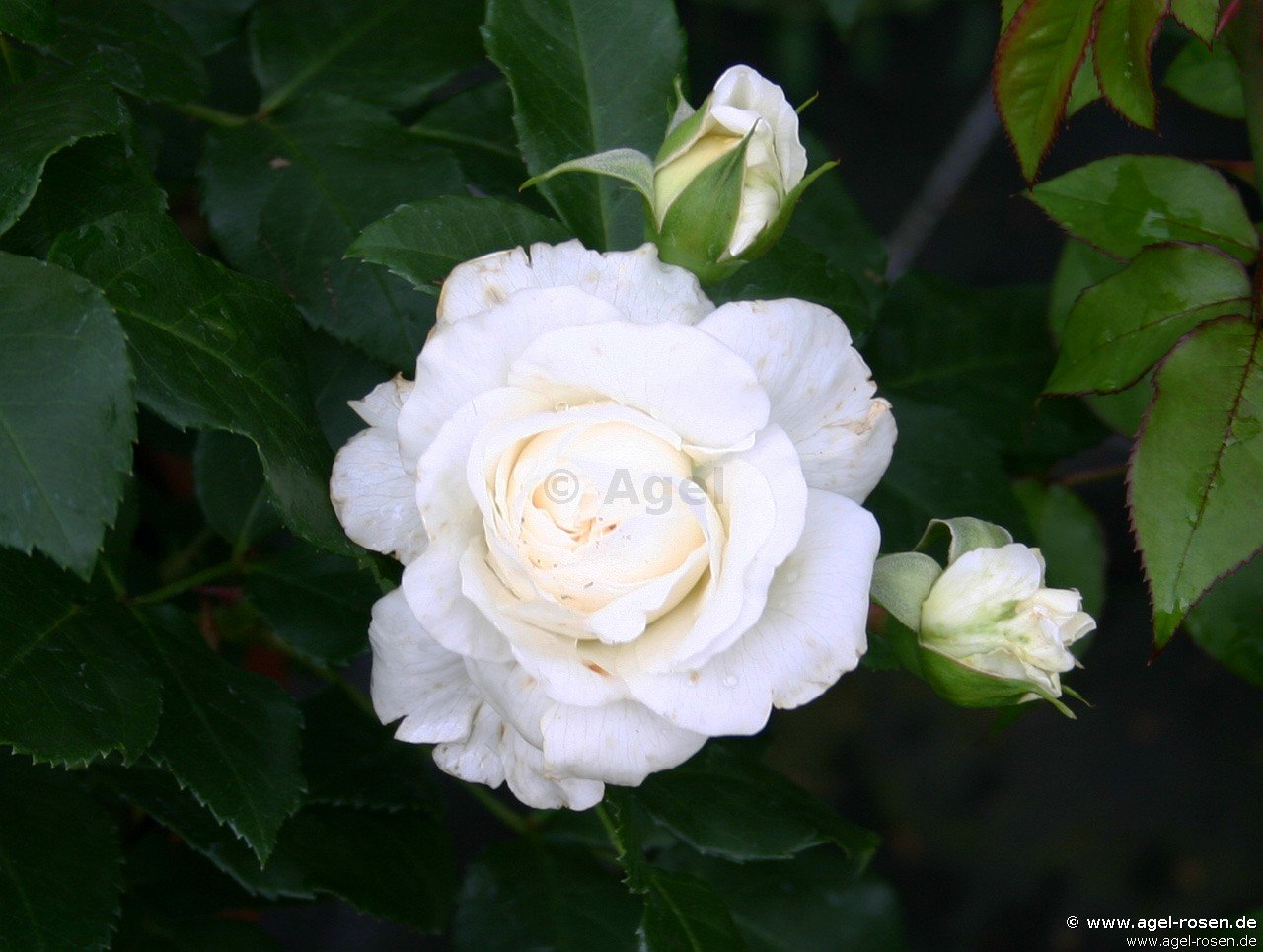 lady romantica beetrose kaufen bei agel rosen. Black Bedroom Furniture Sets. Home Design Ideas