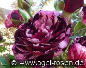 Magdas Rose (Beetrose)
