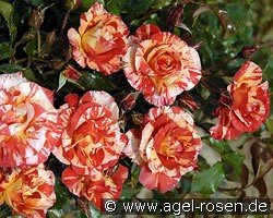 Malerrose 'Paul Gauguin'
