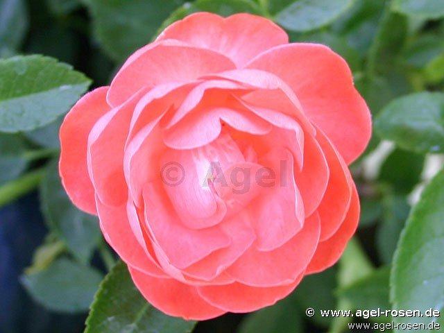 margo koster beetrose kaufen bei agel rosen. Black Bedroom Furniture Sets. Home Design Ideas