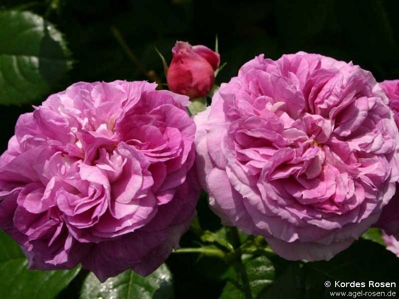 parfum flower circus beetrose kaufen bei agel rosen. Black Bedroom Furniture Sets. Home Design Ideas