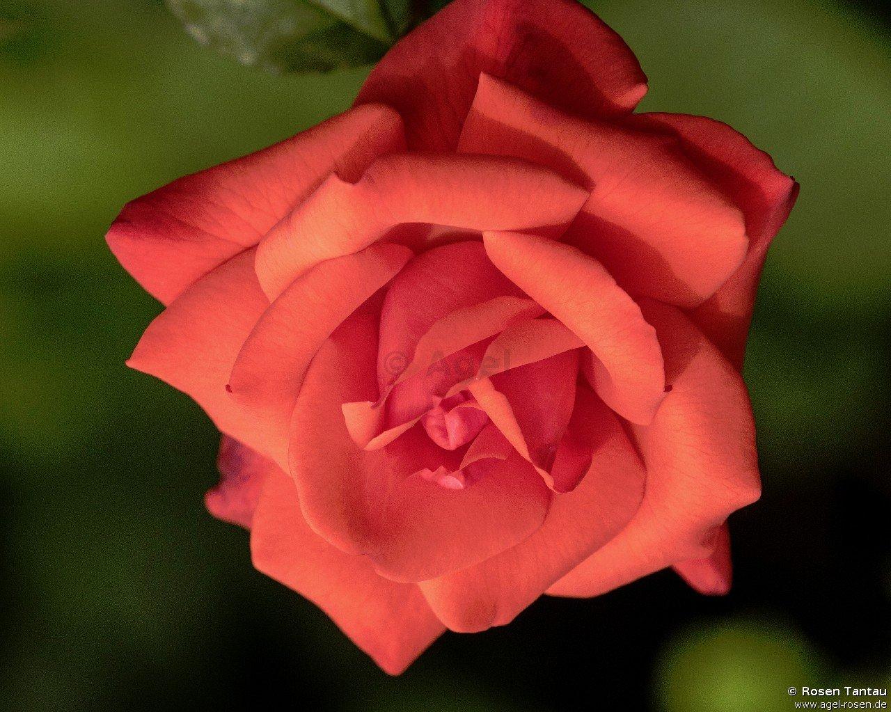 rose piccolo online kaufen agel rosen 1 5 liter. Black Bedroom Furniture Sets. Home Design Ideas