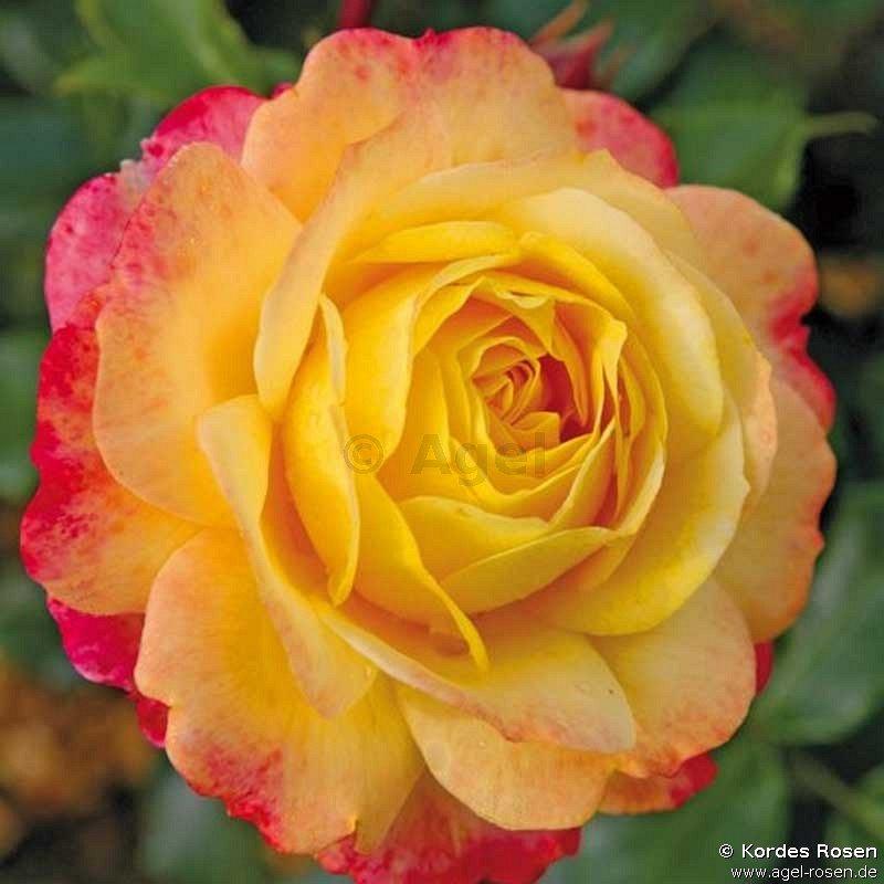 rose der hoffnung beetrose kaufen bei agel rosen. Black Bedroom Furniture Sets. Home Design Ideas