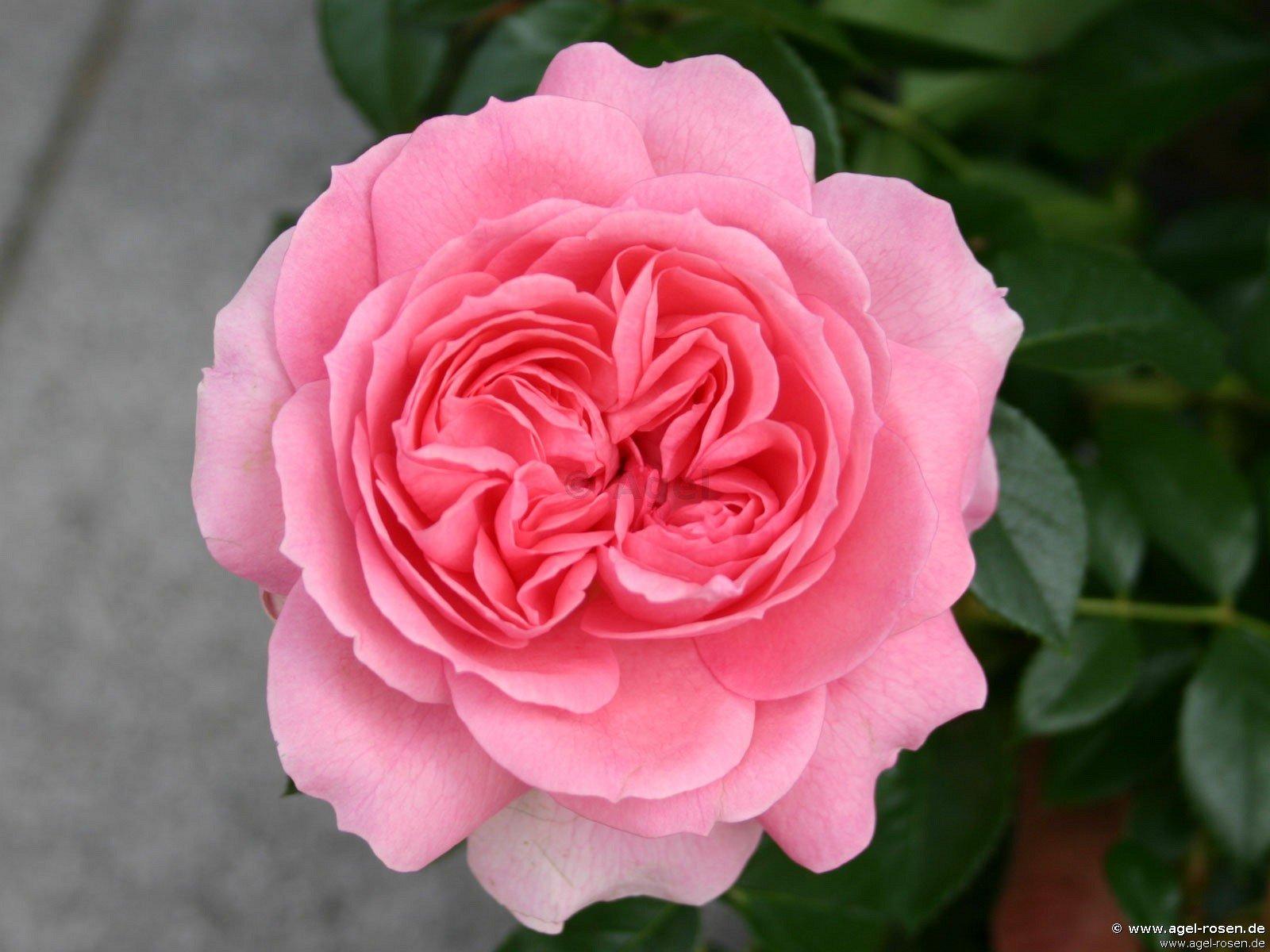 rosenfee beetrose kaufen bei agel rosen. Black Bedroom Furniture Sets. Home Design Ideas