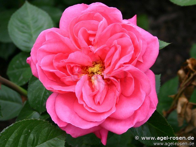 rose rote cs rd s online kaufen agel rosen 1 5 liter. Black Bedroom Furniture Sets. Home Design Ideas