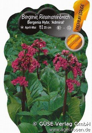 bergenie bei agel rosen online kaufen bergenia hybride. Black Bedroom Furniture Sets. Home Design Ideas