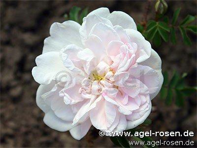 stanwell perpetual bibernell rose buy at agel rosen. Black Bedroom Furniture Sets. Home Design Ideas