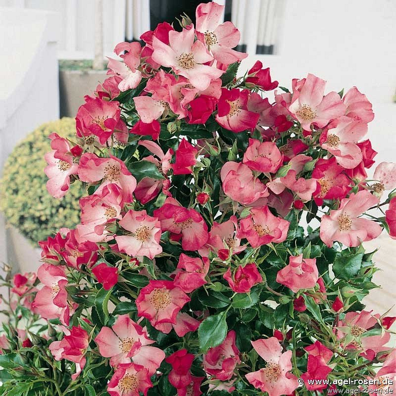 avalanche rose bodendecker kaufen bei agel rosen. Black Bedroom Furniture Sets. Home Design Ideas