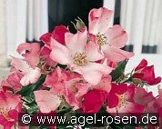Avalanche Rose (Bodendecker)