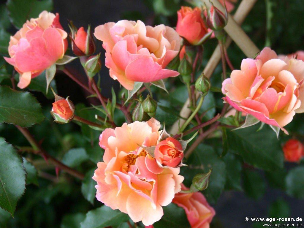 rose jazz online kaufen agel rosen trauerstammrosen 125 140cm im 8l topf pr sentrose. Black Bedroom Furniture Sets. Home Design Ideas