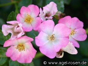 rosa sternenflor bodendecker kaufen bei agel rosen. Black Bedroom Furniture Sets. Home Design Ideas
