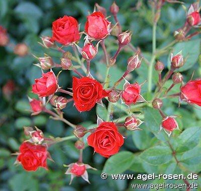 rose scarlet meidiland online kaufen agel rosen hochstammrosen 110cm im 5l topf. Black Bedroom Furniture Sets. Home Design Ideas
