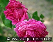 Mme. Isaac Pereire (Bourbon Rose)