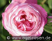 Mme. Pierre Oger (Bourbon Rose)