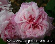Mrs. Paul (Bourbon Rose)