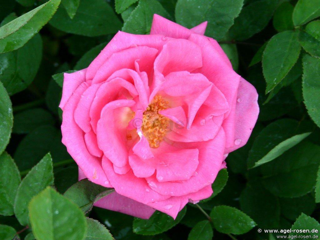 z phirine drouhin bourbon rose buy at agel rosen. Black Bedroom Furniture Sets. Home Design Ideas