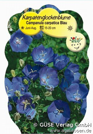 karpaten glockenblume bei agel rosen online kaufen campanula carpatica blau stauden f r. Black Bedroom Furniture Sets. Home Design Ideas