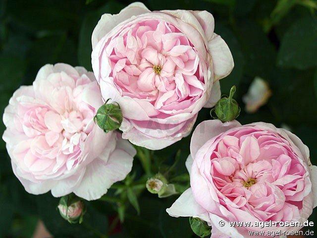 fantin latour centifolia rose buy at agel rosen. Black Bedroom Furniture Sets. Home Design Ideas
