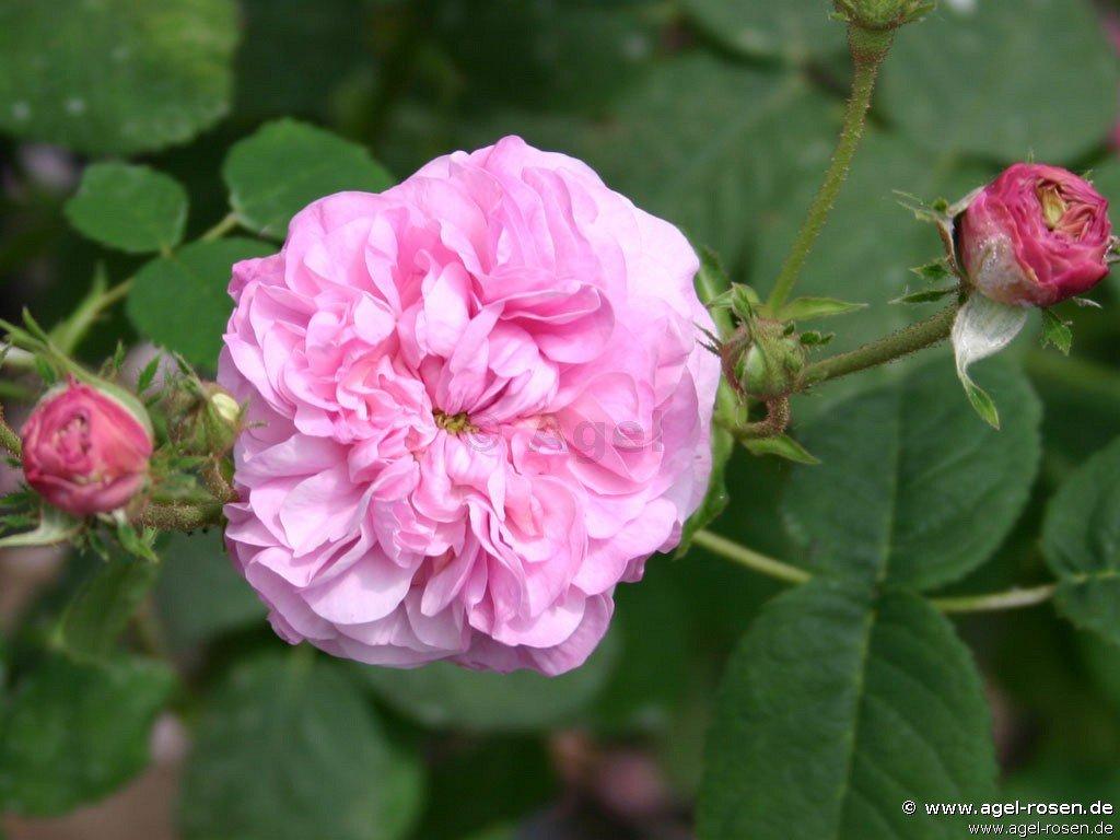 reine de centfeuilles centifolia rose buy at agel rosen. Black Bedroom Furniture Sets. Home Design Ideas