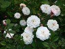 Little White Pet (China Rose)