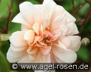 Perle d'Or (China Rose)