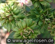 Viridiflora (China Rose)