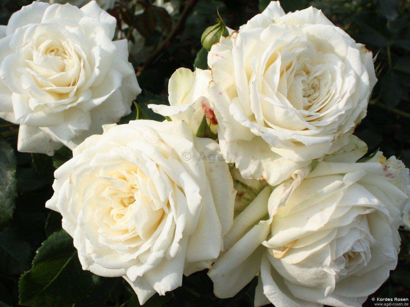 alaska climbing rose buy at agel rosen. Black Bedroom Furniture Sets. Home Design Ideas