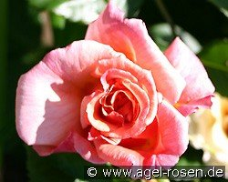 aloha climbing rose buy at agel rosen. Black Bedroom Furniture Sets. Home Design Ideas