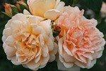 Amaretto (Climbing Rose)