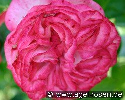 Antike 89 (Climbing Rose)