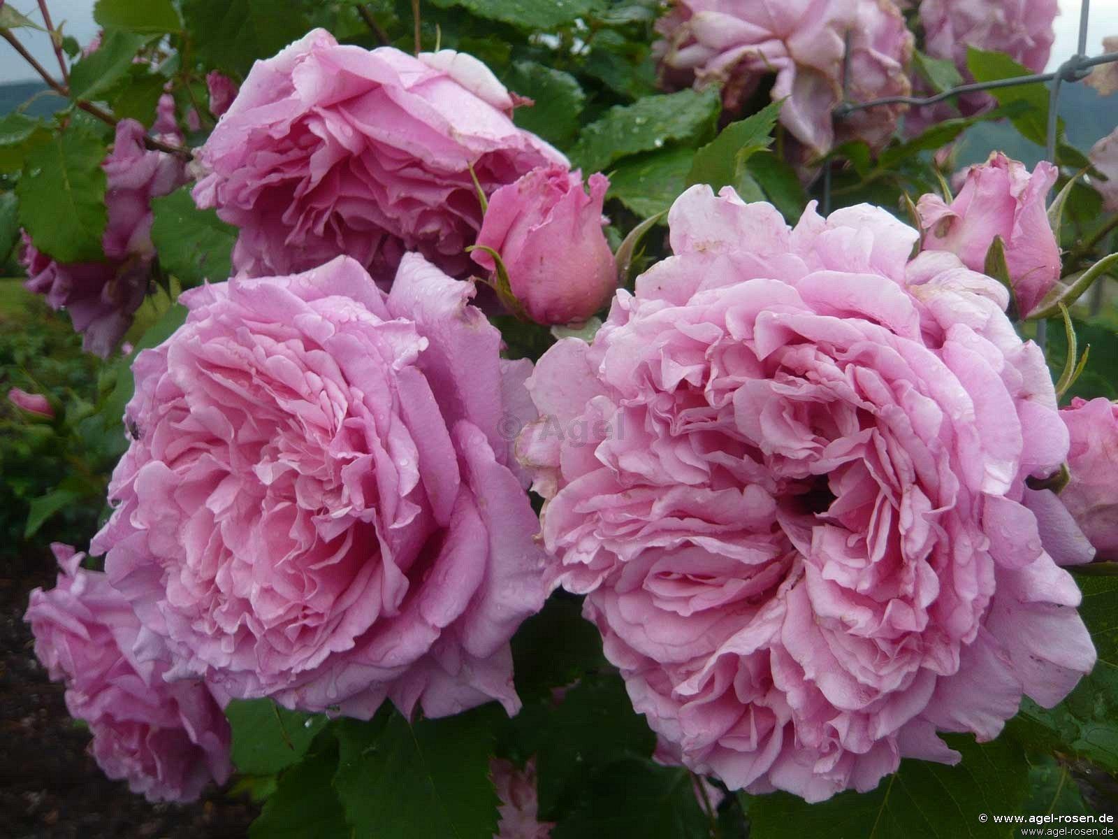 bienvenue climbing rose buy at agel rosen. Black Bedroom Furniture Sets. Home Design Ideas