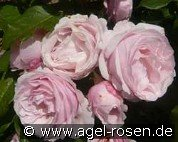 Billet Doux (Climbing Rose)