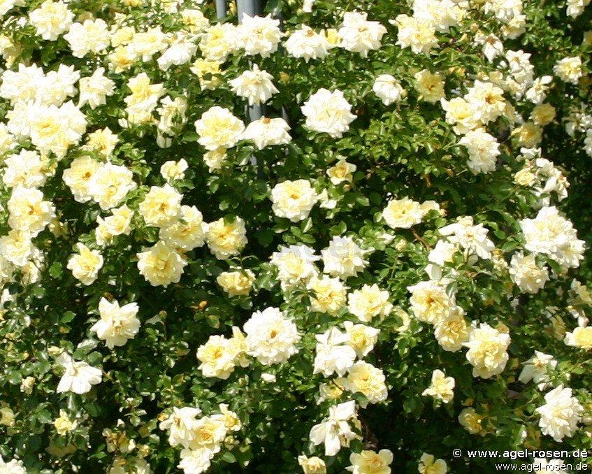christine h l ne climbing rose buy at agel rosen. Black Bedroom Furniture Sets. Home Design Ideas