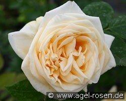 climbing lady hillingdon climbing rose buy at agel rosen. Black Bedroom Furniture Sets. Home Design Ideas