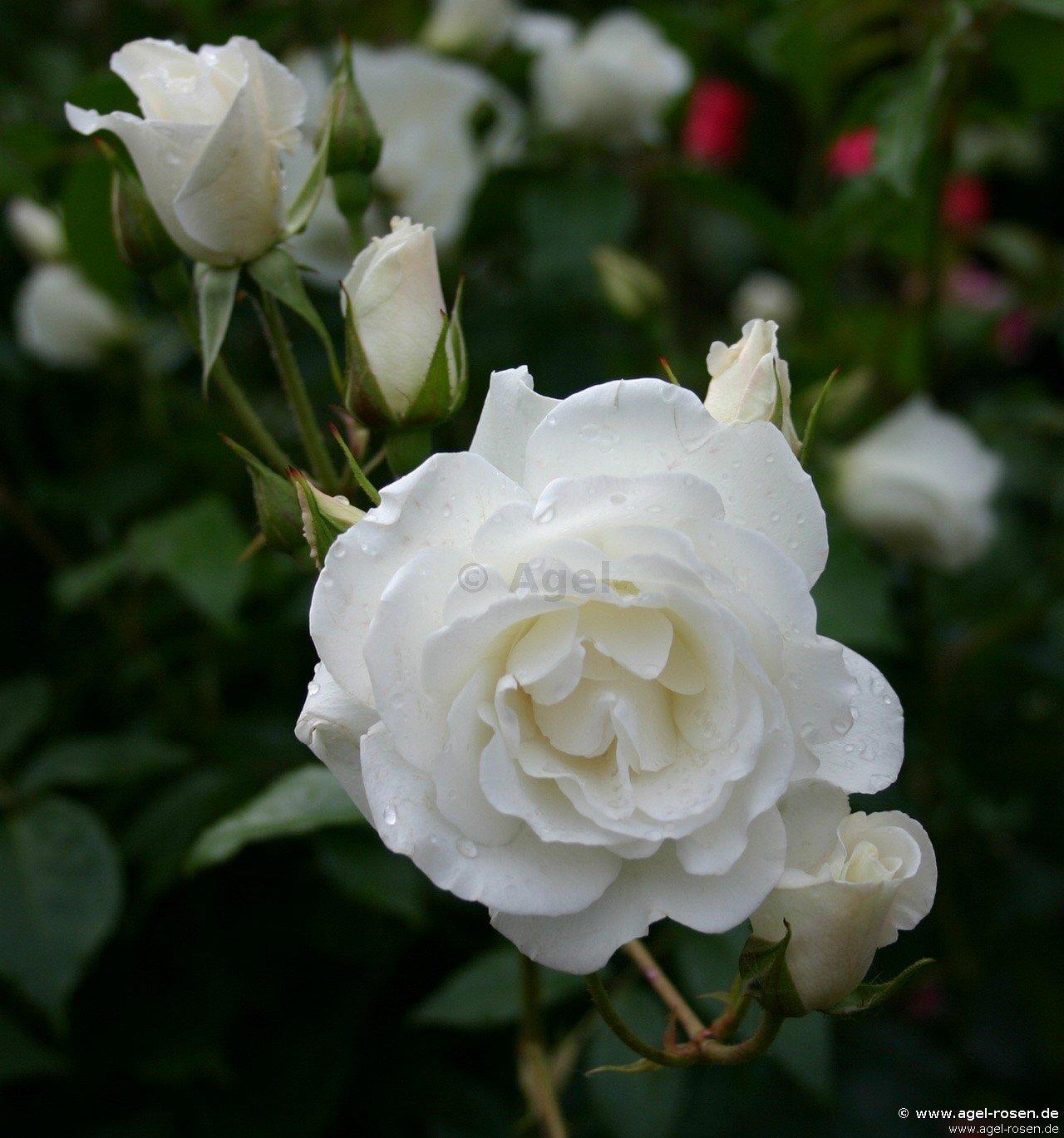 climbing schneewittchen climbing rose buy at agel rosen. Black Bedroom Furniture Sets. Home Design Ideas