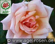 Compassion (Climbing Rose)