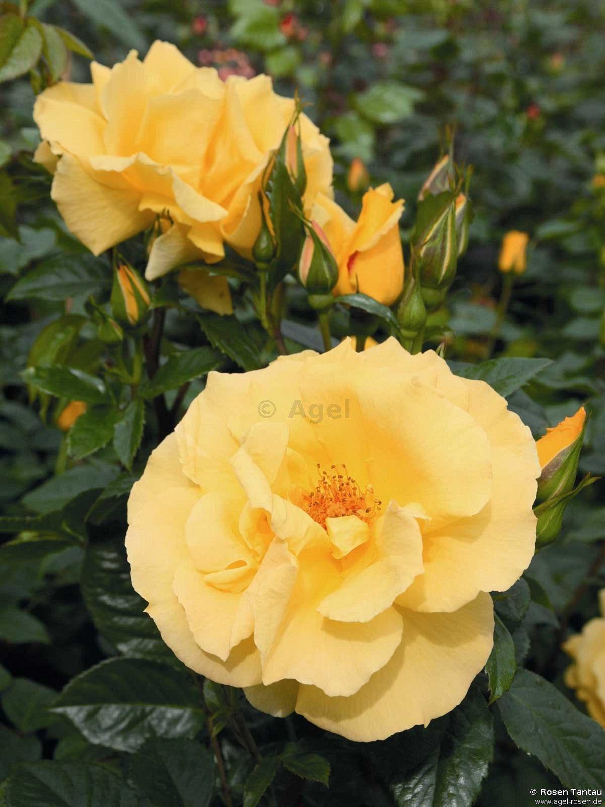dukat climbing rose buy at agel rosen. Black Bedroom Furniture Sets. Home Design Ideas