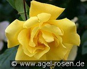 Golden Showers (Climbing Rose)