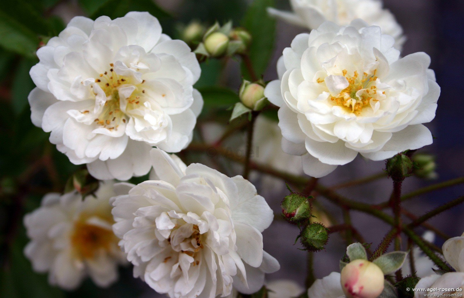 guirlande d 39 amour climbing rose buy at agel rosen. Black Bedroom Furniture Sets. Home Design Ideas