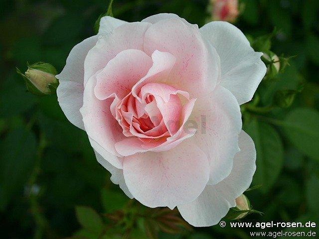 kir royal climbing rose buy at agel rosen. Black Bedroom Furniture Sets. Home Design Ideas