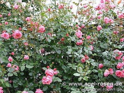 lawinia climbing rose buy at agel rosen. Black Bedroom Furniture Sets. Home Design Ideas