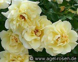 leverkusen climbing rose buy at agel rosen. Black Bedroom Furniture Sets. Home Design Ideas