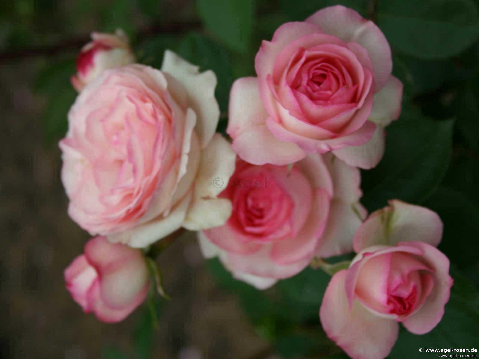 mini eden climbing rose buy at agel rosen. Black Bedroom Furniture Sets. Home Design Ideas
