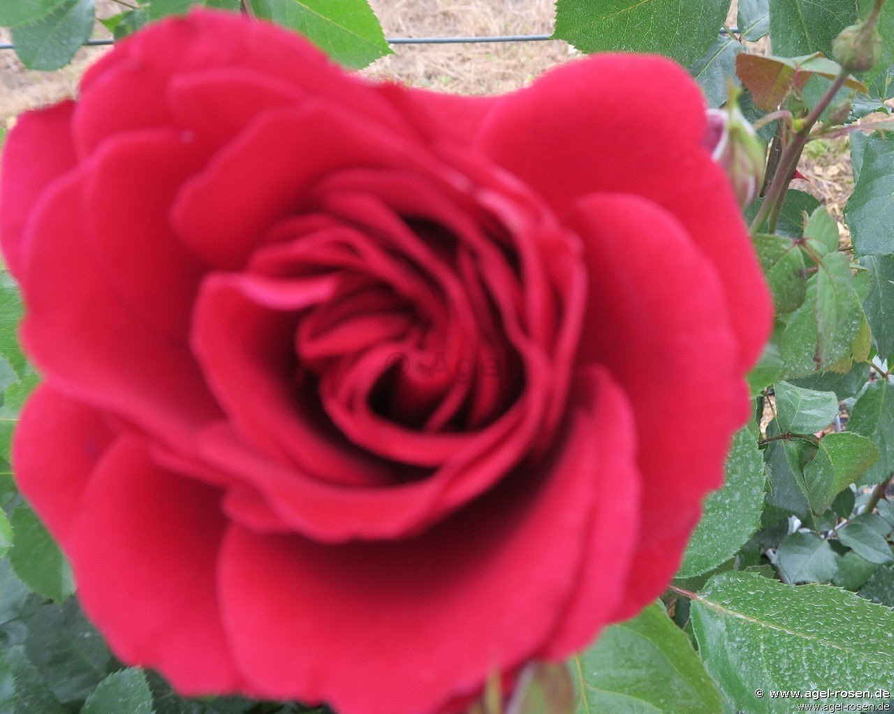 mushimara climbing rose buy at agel rosen. Black Bedroom Furniture Sets. Home Design Ideas