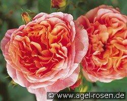papi delbard climbing rose buy at agel rosen. Black Bedroom Furniture Sets. Home Design Ideas