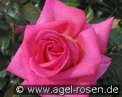 Parfum Royal Climbing (Climbing Rose)