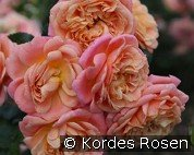 Peach Melba (Climbing Rose)